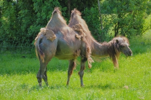 Bactrian camel shedding its hair.