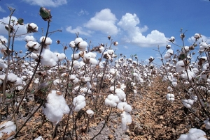 Field with cotton plants.