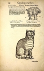 Drawing of a cat, from the Icones Animalium, by Conrad Gesner, Zurich, 1560 edition, p. 28.